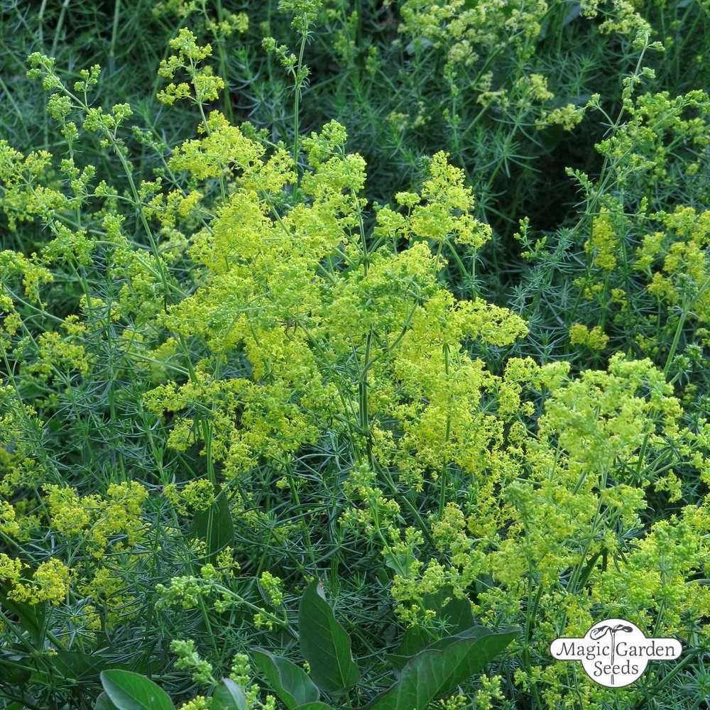 Echtes Labkraut 1.200 Samen Liebkraut Waldstroh Galium Verum