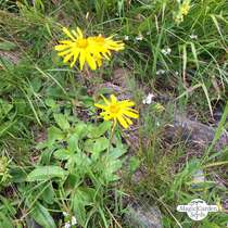 Mountain arnica, wolf's bane (Arnica montana) - bulk quantity (5g / approx. 3000 seeds) #1