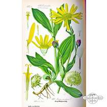 Mountain arnica, wolf's bane (Arnica montana) - bulk quantity (5g / approx. 3000 seeds) #3