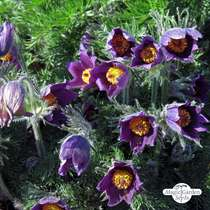 Pasque Flower (Pulsatilla vulgaris) #1