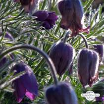 Pasque Flower (Pulsatilla vulgaris) #2