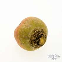Yellow beetroot 'Golden' (Beta vulgaris) Organic - bulk quantity (10g / approx. 600 seeds) #1