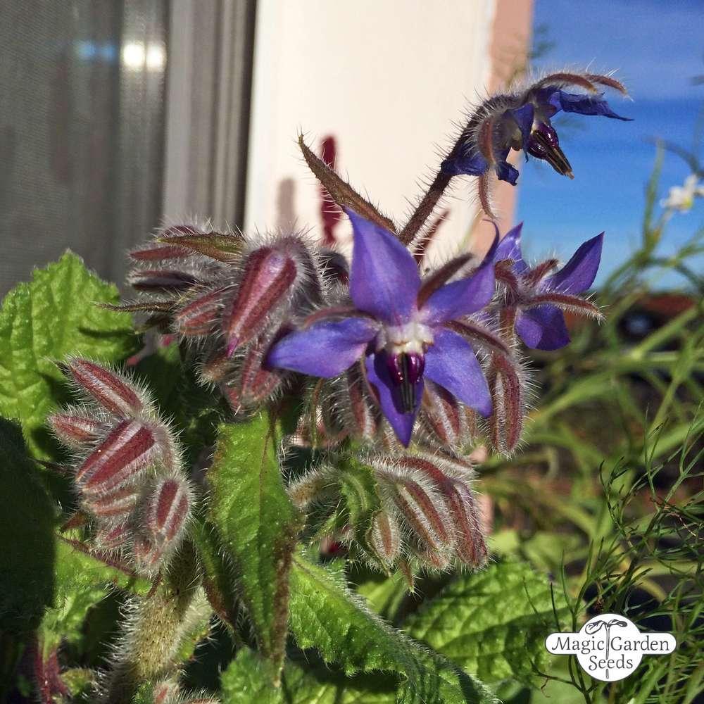Borretsch Borago officinalis Bio