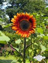 Common sunflower (Helianthus annuus) #0