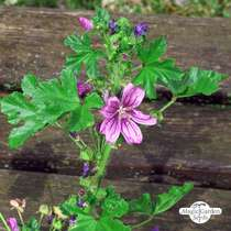 Roundleaf Mallow (Malva neglecta) #1
