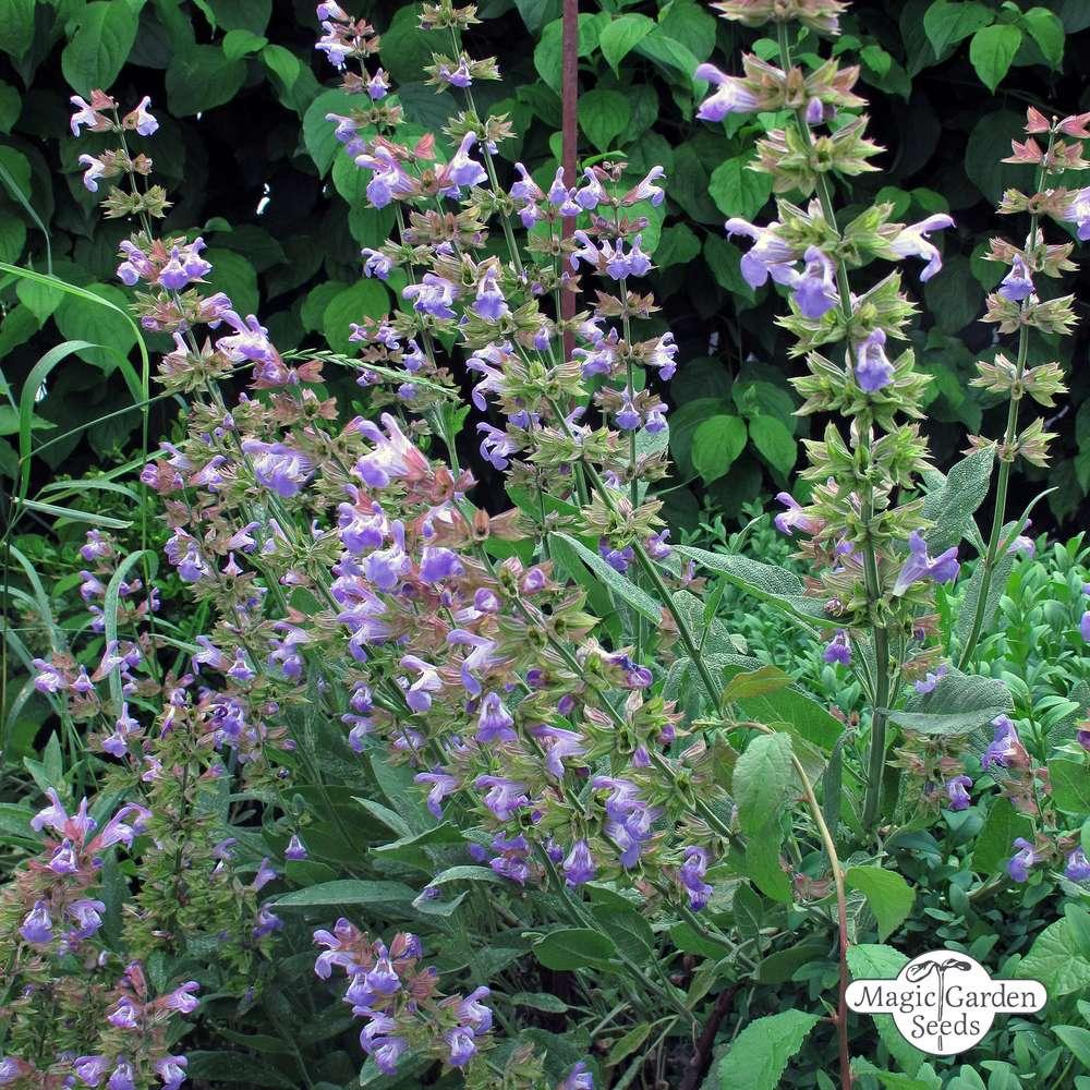Garden Sage seeds Salvia officinal organic seeds non gmo Ukraine 0.3 g