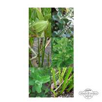 Seed Gift Box: 'Ayurvedic Medicinal Herbs', 3 plant varieties from India with healing properties #3