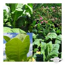 'Cigarette tobacco' seed kit gift box #5