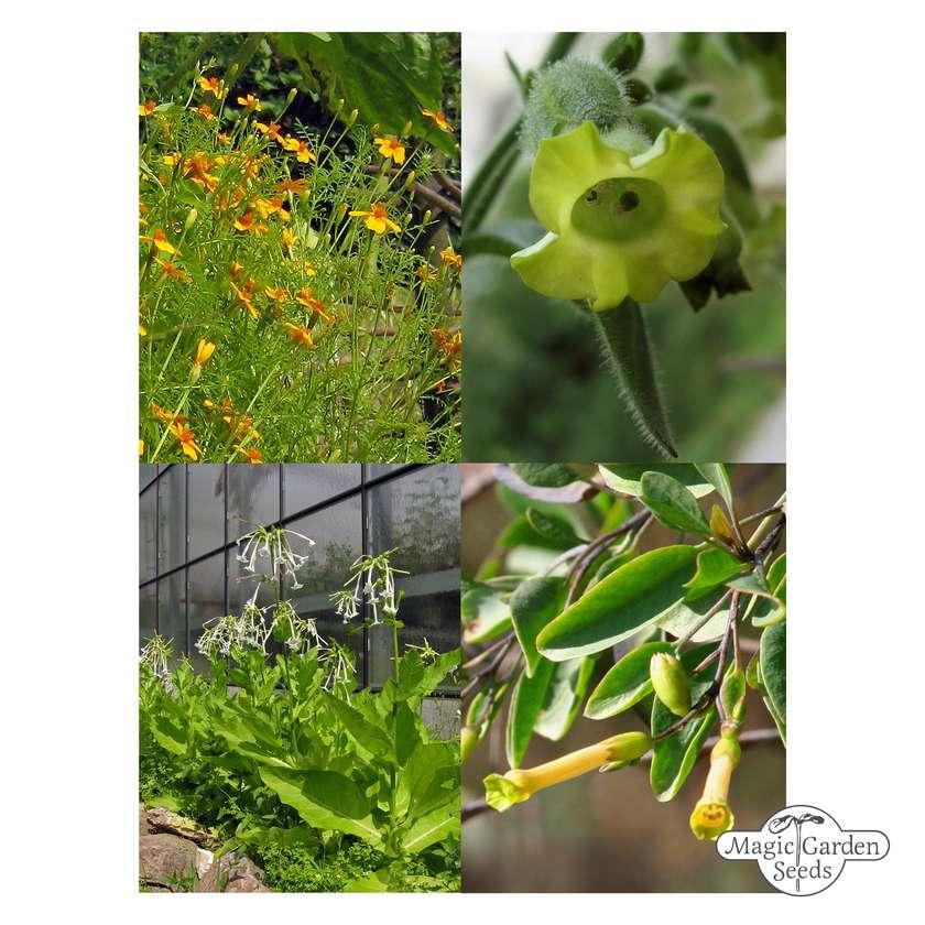 'Native American tobacco' seed kit gift box