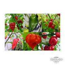 The Hottest Chilli Peppers In The World - Seed kit gift box #5