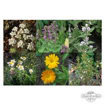 Traditional Native Medicinal Plants (Organic) - Seed kit gift box #3