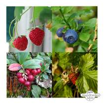 Berry Snack Garden (Organic) - Seed kit gift box #5