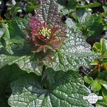 Jack-by-the-hedge (Alliaria petiolata) - bulk quantity (10g / approx. 4000 seeds) #1