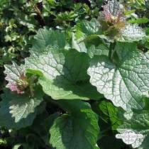 Jack-by-the-hedge (Alliaria petiolata) - bulk quantity (10g / approx. 4000 seeds) #3