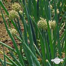 Welsh Onion (Allium Fistulosum) #0