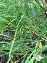 Chinese chives, fragrant garlic (Allium odorum) - bulk quantity (10g / approx. 2000 seeds) #2