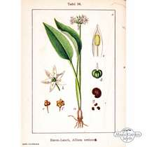 Ramsons / Bear Garlic (Allium ursinum) organic #2