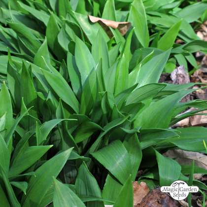 Ramsons / Bear Garlic (Allium ursinum) organic