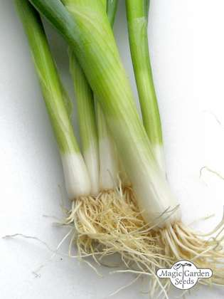 Bunching onion 'Ishikura' (Allium fistulosum)