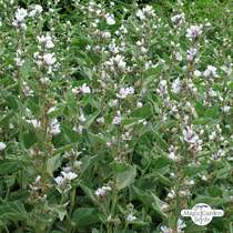 Marsh-mallow (Althaea officinalis) organic - bulk (10g / 4000 seeds) #1