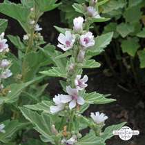 Marsh-Mallow (Althaea officinalis) organic #0