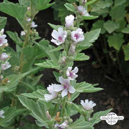 Marsh-mallow (Althaea officinalis) organic