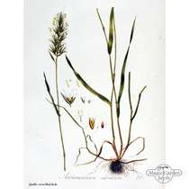 Sweet vernal grass (Anthoxanthum odoratum) organic- bulk quantity (10g / 10000 seeds) #3