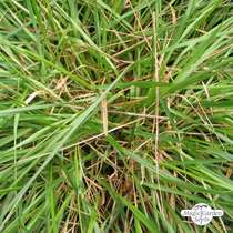 Sweet vernal grass (Anthoxanthum odoratum) organic #1