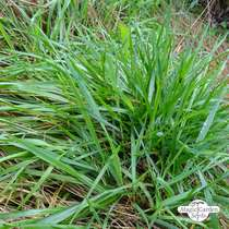 Sweet vernal grass (Anthoxanthum odoratum) organic #2