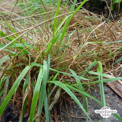 Sweet vernal grass (Anthoxanthum odoratum) organic