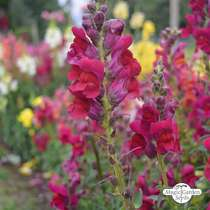 Common snapdragon (Antirrhinum majus) organic #1
