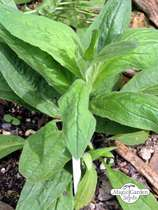 American chamisso arnica (Arnica chamissonis ssp. foliosa) - bulk quantity (1g / approx. 2000 seeds) #1