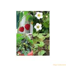 Sowing & growing gift kit: '4 Heirloom Strawberry Species' #10