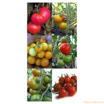Four Heirloom Tomato Varieties Sowing and Growing Kit Gift Box #9