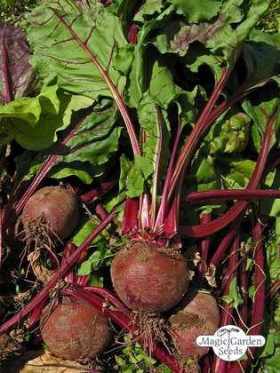 Beetroot 'Robuschka' (Beta vulgaris) organic
