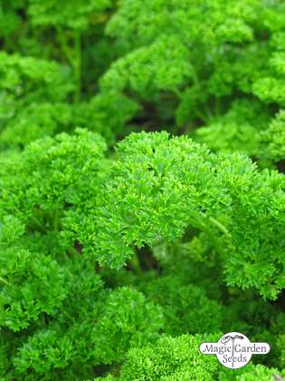 Parsley 'Mooskrause' (Petroselinum crispum) organic