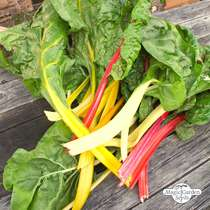 Colourful Swiss chard 'Five Colours' (Beta vulgaris ssp.vulgaris) organic - bulk quantity (10g / 500 seeds) #1
