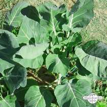 Brussels Sprouts 'Evesham Special' (Brassica oleracea) - bulk quantity (10g / 2000 seeds) #1