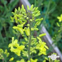 Brussels Sprouts 'Evesham Special' (Brassica oleracea) - bulk quantity (10g / 2000 seeds) #3
