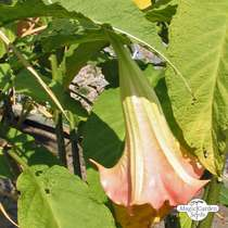 White angel's trumpet (Brugmansia suaveolens) - bulk quantity (5g / approx. 200 seeds) #2