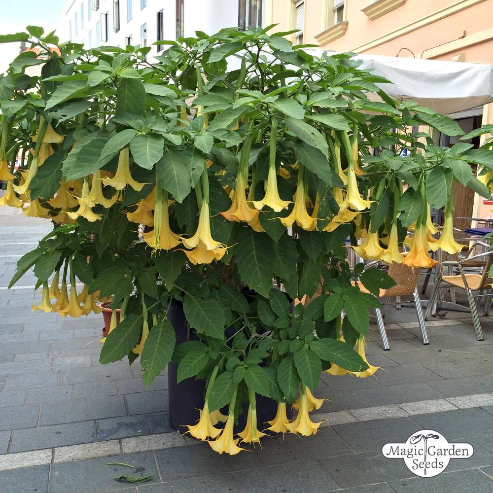 Angel trumpet is most deadly plant in the world