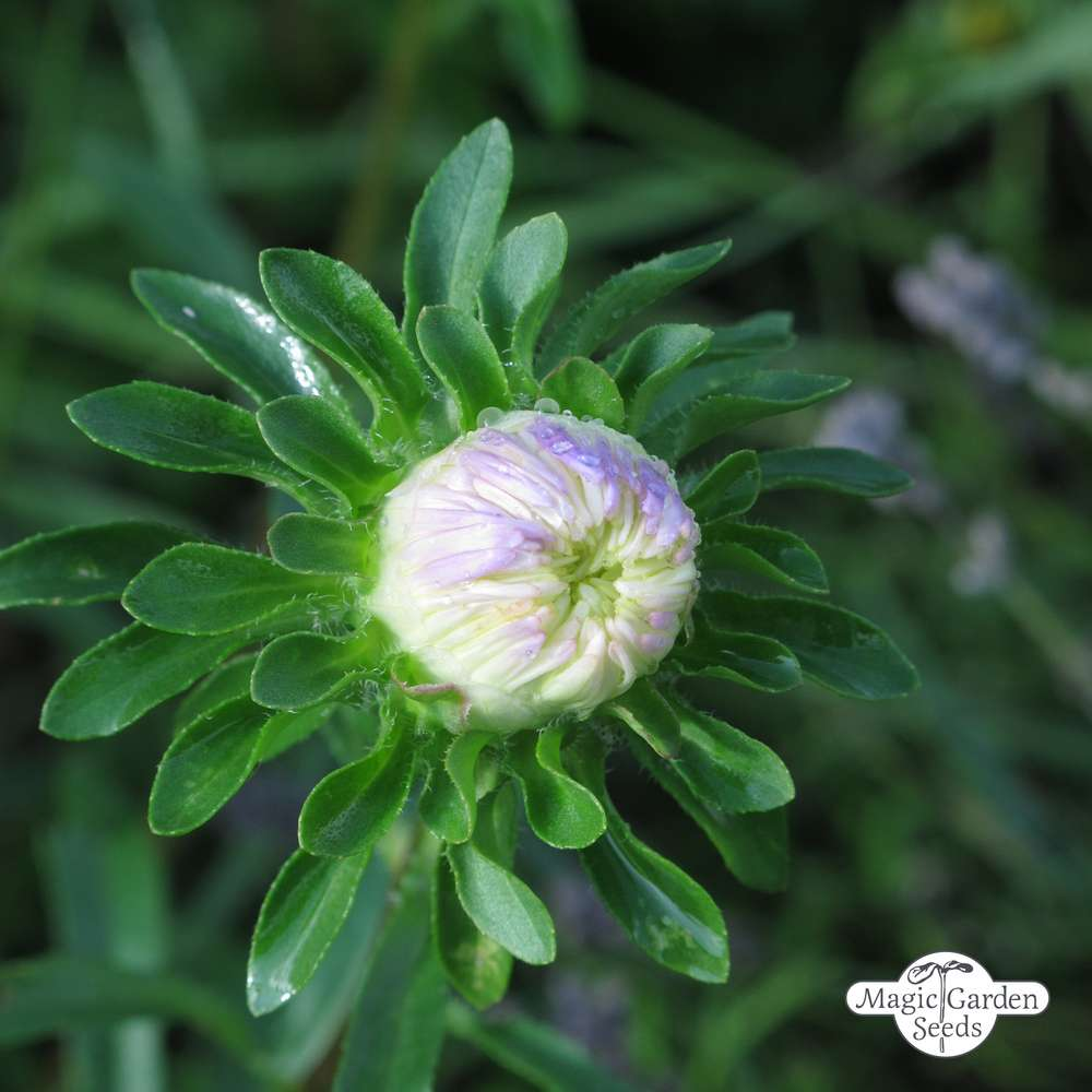50 China Aster Seeds Callistephus chinensis Ornamental Garden Flowers