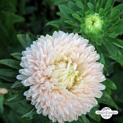 ASTER PAEONY DUCHESS CORAL ROSE Callistephus Chinensis 100 Bulk Seeds