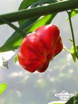 Mini Bonnet Chili Pepper (Capsicum baccatum) #0