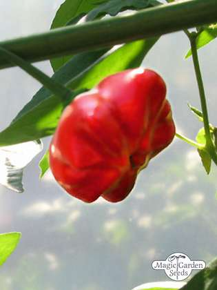 Mini Bonnet Chili Pepper (Capsicum baccatum)