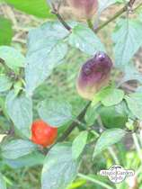 Hot Pepper 'Numex Twilight' (Capsicum frutescens) #0