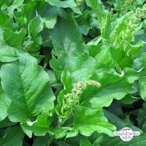 Good King Henry (Chenopodium bonus-henricus) packet #0