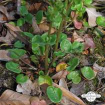 Scurvy grass (Cochlearia officinalis) conventional - bulk quantity (5g / 10000 seeds) #3