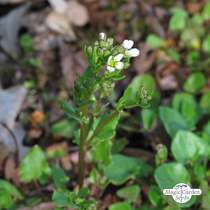 Scurvy grass (Cochlearia officinalis) #2