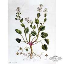Scurvy grass (Cochlearia officinalis) #4